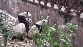 Gli orsi di panda gigante stock footage