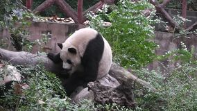 Gli orsi di panda gigante video d archivio
