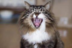 Gli sbadigli del gatto Fotografia Stock