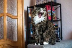 Gli sbadigli del gatto Fotografie Stock
