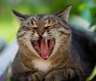 Gli sbadigli a strisce del gatto Immagini Stock Libere da Diritti