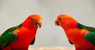 Gli scapularis australiani di Alisterus del pappagallo si chiudono in su Fotografie Stock Libere da Diritti