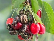 Gli scarabei del rinforzo rosa mangiano le ciliege delle bacche Immagini Stock Libere da Diritti