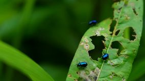 Gli scarabei di pulce di verdure mangiano la foglia verde archivi video