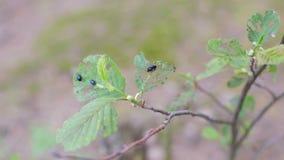 Gli scarabei di verdure stanno mangiando sulla foglia verde video d archivio