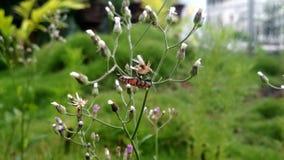 Gli scarabei hanno perso in fiori fotografia stock