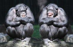 Gli scimpanzè. Fotografie Stock Libere da Diritti