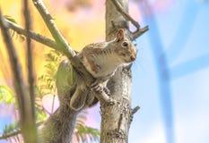 Gli scoiattoli e le ghiande, non dimenticano mai le estati Fotografie Stock