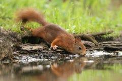 gli scoiattoli hanno dovuto bere fotografia stock libera da diritti