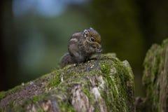 Gli scoiattoli sta mangiando le nocciole fotografie stock
