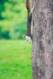 Gli scoiattoli vivono in parco Immagine Stock