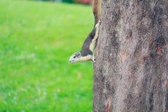 Gli scoiattoli vivono in parco Fotografia Stock