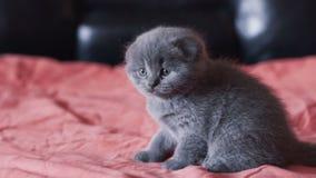 Gli scottish più cutiest ed allegri piegano i resti del kittie su un letto alla macchina fotografica stock footage