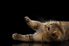 Gli Scottish piegano Cat Playful Lying, alzante sulle zampe anneriscono immagine stock libera da diritti