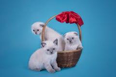 Gli Scottish piegano i gattini in un canestro su un fondo blu Fotografia Stock