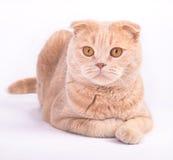 Gli Scottish piegano il gatto che si trova sui precedenti bianchi Immagine Stock