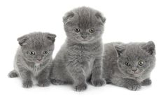 Gli Scottish piegano il gatto grigio Fotografie Stock