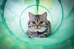 Gli Scottish piegano Kitten Relaxing in Cat Toy Tube mentre indossano un farfallino fotografia stock