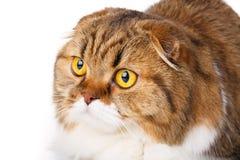 Gli Scottish seri piegano il gatto sul primo piano bianco del fondo Immagine Stock