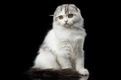Gli scottish simili a pelliccia piegano il gattino della razza su fondo nero isolato Fotografia Stock Libera da Diritti