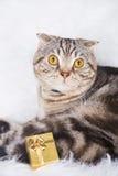 Gli Scottish svegli piegano con il contenitore di regalo dorato su pelliccia bianca fotografie stock libere da diritti