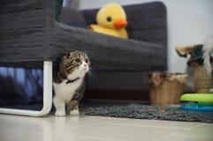 Gli Scottish svegli piegano il gattino che si nasconde sotto lo strato Immagini Stock