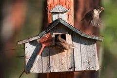 Gli scriccioli delle case fanno il loro primo volo Tutto e sei i pulcini recentemente covati Fotografie Stock