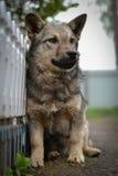 Gli sguardi del cane Fotografia Stock