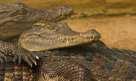 Gli sguardi del coccodrillo Immagine Stock Libera da Diritti