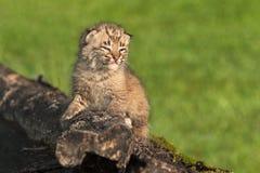 Gli sguardi del gatto selvatico del bambino (rufus di Lynx) radrizzano dal ceppo Immagine Stock Libera da Diritti