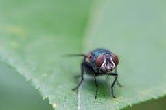 Gli sguardi della mosca Fotografia Stock Libera da Diritti
