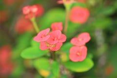 Gli spectabilis del Malus al letto di fiore 2011 Fotografia Stock
