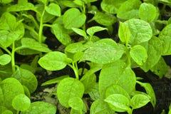Gli spinaci organici freschi vanno con le goccioline dell'acqua sul groun Fotografia Stock Libera da Diritti