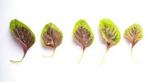 Gli spinaci rossi cinesi lasciano III Fotografia Stock