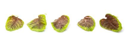 Gli spinaci rossi cinesi lasciano VI Immagine Stock