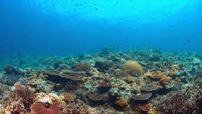 Gli squali della scogliera di Whitetip su una barriera corallina con abbondanza pescano Immagine Stock