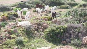 Gli stambecchi e le pecore pascono in un prato verde dal mare archivi video