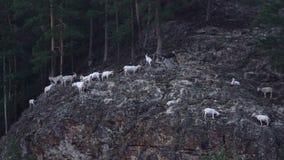 Gli stambecchi scalano la montagna archivi video