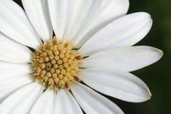 Gli stamens gialli e i arktotis bianchi dei petali si chiudono in su fotografie stock libere da diritti