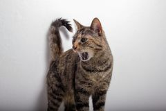 Gli strappi grigi del gatto di soriano aprono la sua bocca fotografia stock libera da diritti