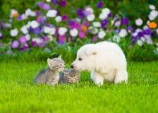 Gli svizzeri bianchi conducono i gattini di fiuto del cucciolo del ` s su erba verde Fotografia Stock Libera da Diritti