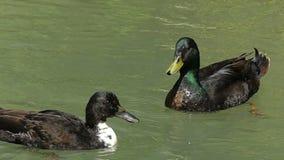 Gli swimms di un maschio e un germano reale ondeggia l'ala Vuole smetterla nel slo-Mo archivi video