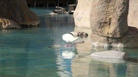 gli uccelli acquatici Nero-con il collo del cigno puliscono le piume stock footage