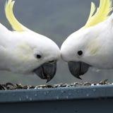 Gli uccelli australiani della fauna selvatica ingialliscono la cacatua bianca crested zolfo Fotografia Stock