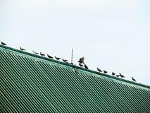 Gli uccelli che stanno in una fila sul tetto, piccioni vivono spesso insieme in un gruppo Fotografia Stock Libera da Diritti