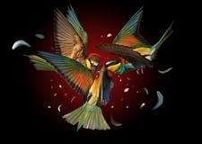 Gli uccelli colorati che combattono nell'aria hanno colorato le piume che volano nelle direzioni differenti Immagini Stock