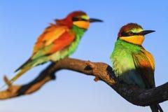 Gli uccelli colorati si siedono su un ramo asciutto Immagine Stock Libera da Diritti