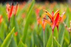 Gli uccelli del fiore e della pianta di paradiso, prospera nel clima tropicale Fotografia Stock