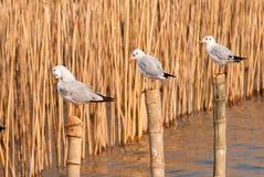 Gli uccelli del gabbiano si distendono il tempo immagini stock