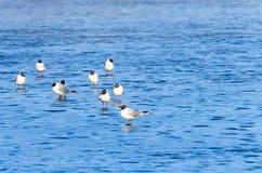 Gli uccelli del lago gull sul ghiaccio nel parco dello stagno fotografie stock libere da diritti